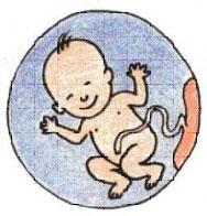 Schéma sang placentaire cordon